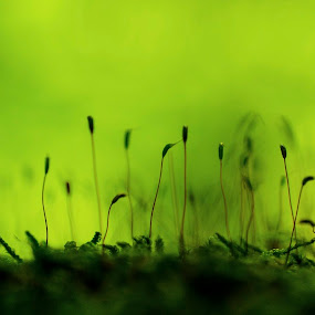 Moos by Milica Đorđević - Nature Up Close Other plants ( moos, green, close up )