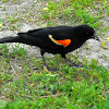 Red-winged Blackbird(male)