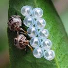 Shield Bug/Stink Bug nymphs & empty eggs