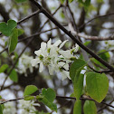 Juneberry or Serviceberry