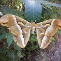 Cynthia Moth