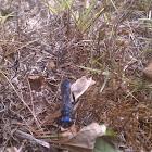Blue mud wasps