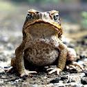 Cane Toad, Giant Marine Toad, Giant Toad, Marine Toad