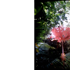 Japanese Lanturn Hibiscus
