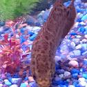 African leaf fish