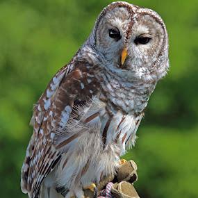 by Jeffrey Sutain - Animals Birds (  )