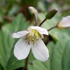 Broad-leaved Toothwort