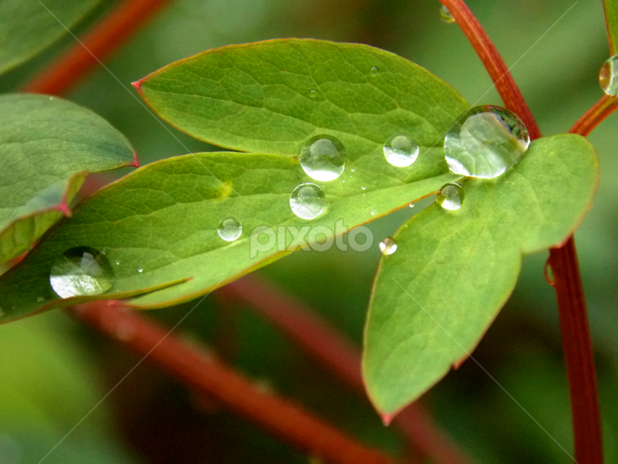 Morning pearls  by Dijana Ristova - Nature Up Close Leaves & Grasses ( amazing, water, pearl, leafs, green, drops, morning,  )