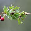 Common Hawthorn, Majuelo