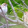 Lark Sparrow (pair)