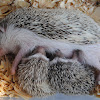 Four-toed hedgehog(Domestic)