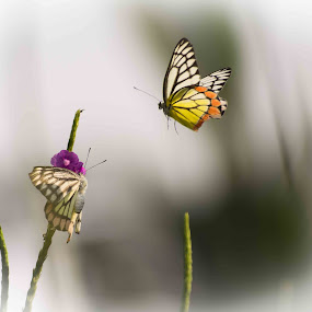 Haldi kunku by Amol Patil - Animals Insects & Spiders ( butterfly )