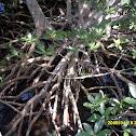 Red Mangrove