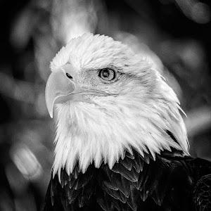 Eagle BW.jpg
