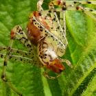 Linx spider