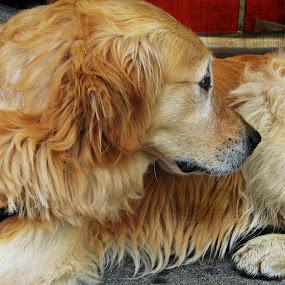 by Branko Levačić - Animals - Dogs Puppies