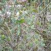Periquito-rico (Brotogeris tirica)