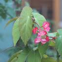 Flor de azucar o begonia