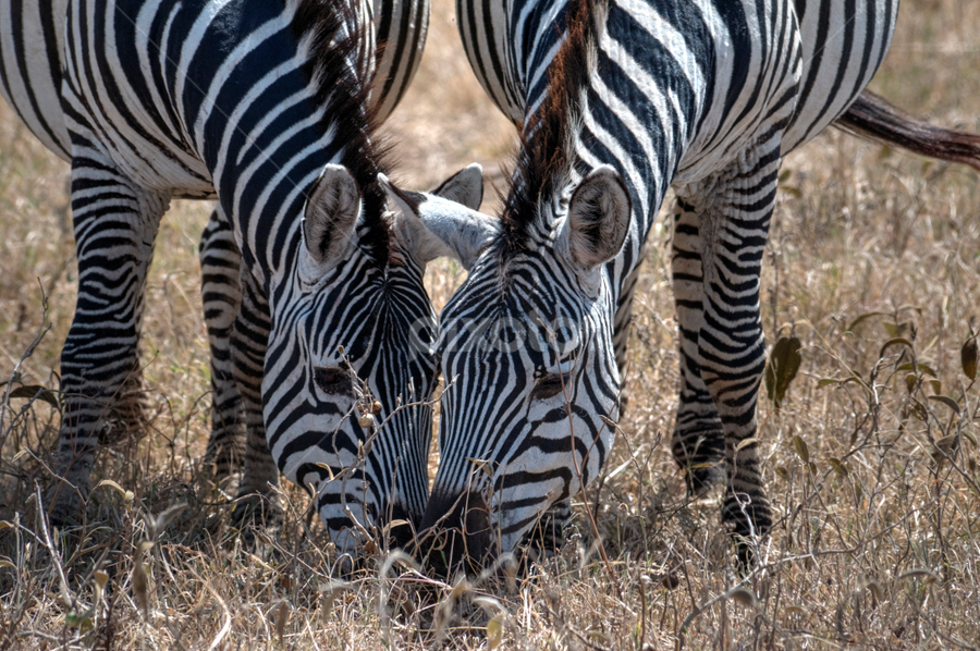 Lunch Date by Andy Chow - Animals Other Mammals ( safari, zebra, tanzania, africa )