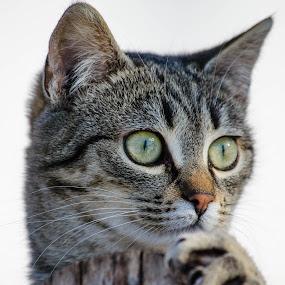 by Ciupe Simona - Animals - Cats Portraits