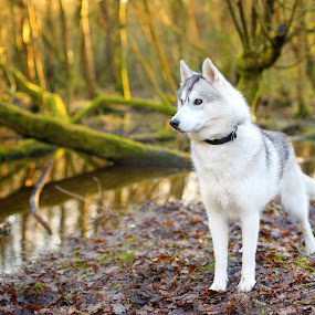 San by Paweł Prus - Animals - Dogs Portraits ( intelligent, breed, almond, canis, show, sled, harsh, landscape, siberia, colour, pose, tree, family, icee, husky, grey, working, light, coat, sibe, water, spitz, white, forest, siberian, woods, portrait, female, color, pet, flood, outdoor, lupus, trees, sibirsky, ears, active, brown, dog, dense, nose, golden, shaped )