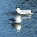 Ring-billed Gull (winter)