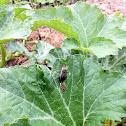Gray Squash Bug