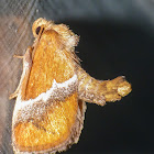 Yellow-shouldered slug moth