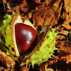 Horse chestnut by Tony Steele - Nature Up Close Gardens & Produce (  )