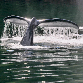 Tail Lights by  J B  - Animals Sea Creatures ( great bear rainforest, humpback whale, princess royal island, whale, tail up )