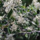 White-thorn Ceanothus
