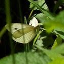Small White (female)