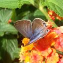 Mariposa canela estriada. Cinnamon striated butterfly