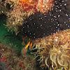 Sea cucumber