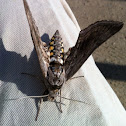 Five-spotted Hawkmoth