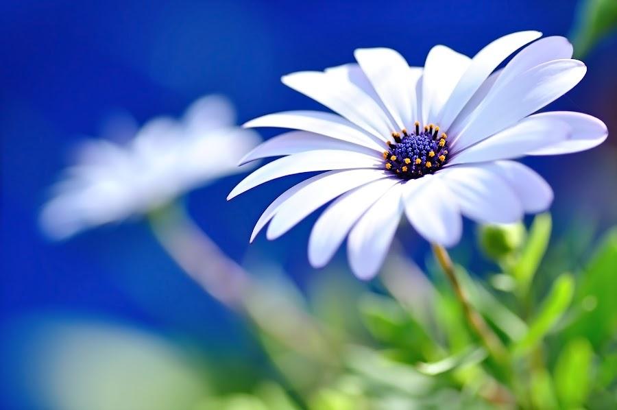 Happy White Daisy 2- Blue Bokeh  by Kaye Menner - Flowers Flower Gardens ( petals, colorful, daisy art, kaye menner photography, daisy, beauty, leaves, botanical, glow, kaye menner, photography, macro, nature, happy, color contrast, white daisy on blue, kaye menner floral, stamen, sunshine, daisy garden, white floral, white blue, happy white daisy, light, flower, white flower, flora, green, white, blue background, blue stamen, close up, floral wall art, natural beauty, white petals, blue, white flora, blue bokeh, white daisy, garden, floral,  )