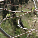 Northern rough winged swallow