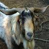 Cabra Doméstica / Domestic Goat