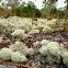 Deer lichen