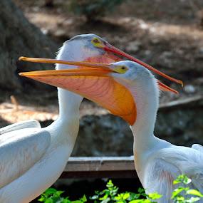 Zoo Pelicans by Phil Olson - Animals Birds ( bird, zoo, white pelican, pelican, birds,  )