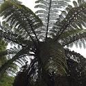 NZ tree fern