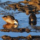 Duck, Hottentot Teal