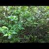 Rough leaf dogwood