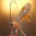Ichneumon Wasp sps