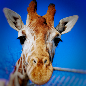 Hi down there by Kati Garner - Animals Other Mammals ( eyelashes, giraffe, white, brown, tall )
