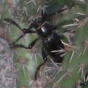 Cactus Longhorn Beetle