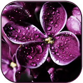 Raindrops on lilac