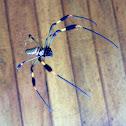 golden orb-web spider/araña hilo de oro