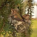 Rufous Hummingbird (nestlings)