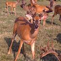 Farm-raised Deer
